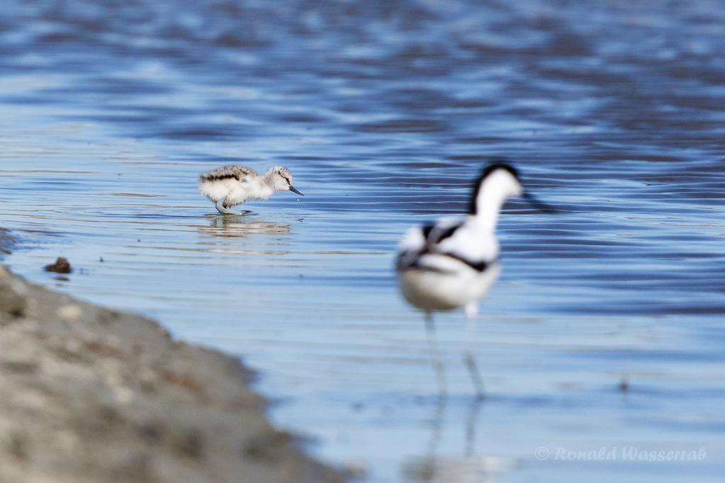 Säbelschnäbler (Recurvirostra avosetta) mit Küken