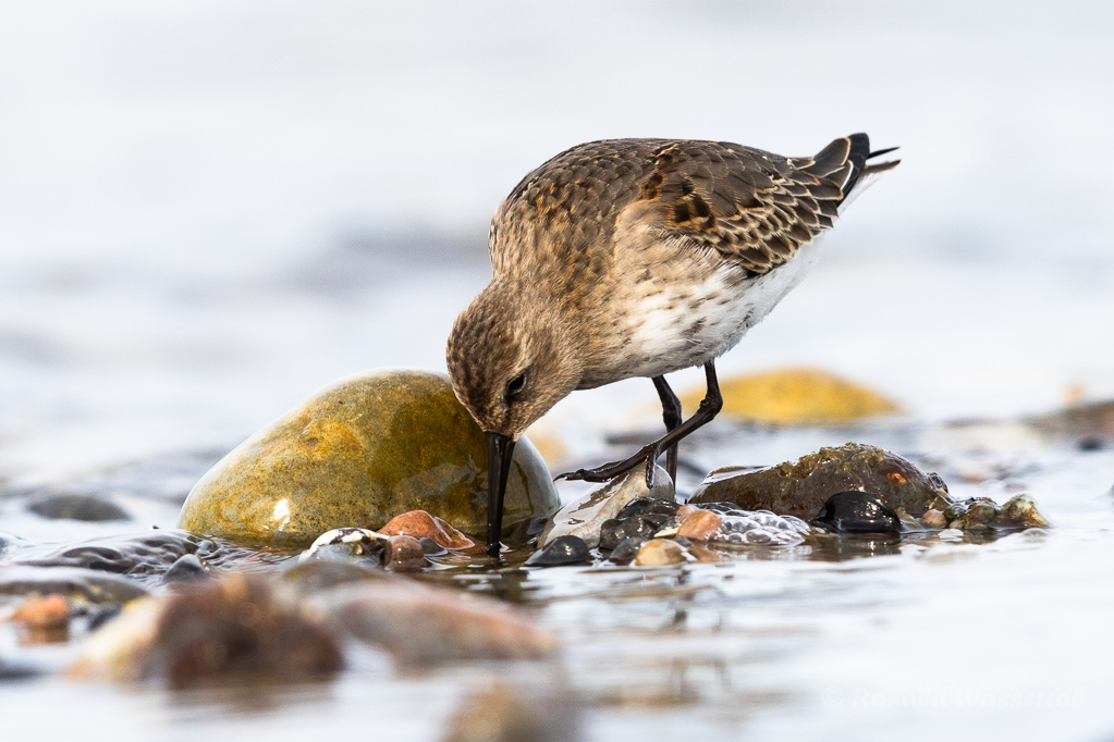 Alpenstrandläufer (Calidris alpina) am Bottsand