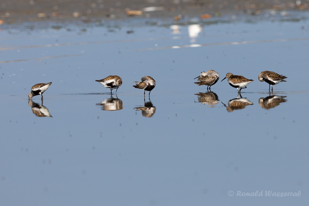 Alpenstrandläufer (Calidris alpina)