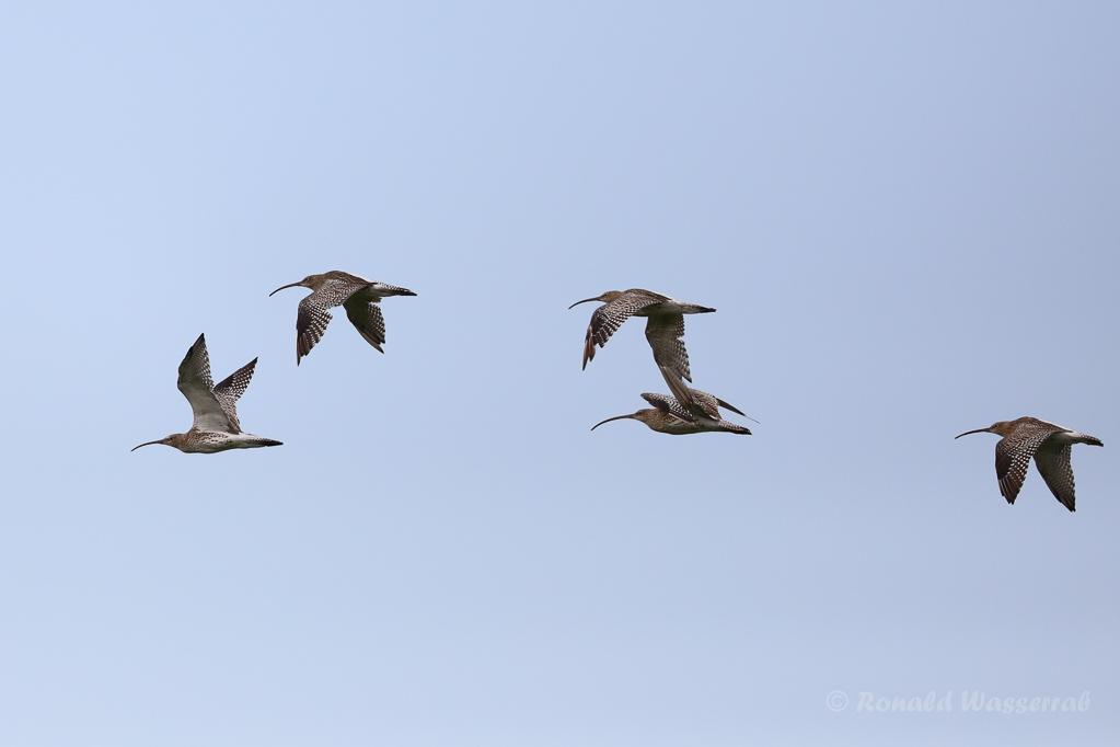 Große Brachvögel (Numenius arquata)