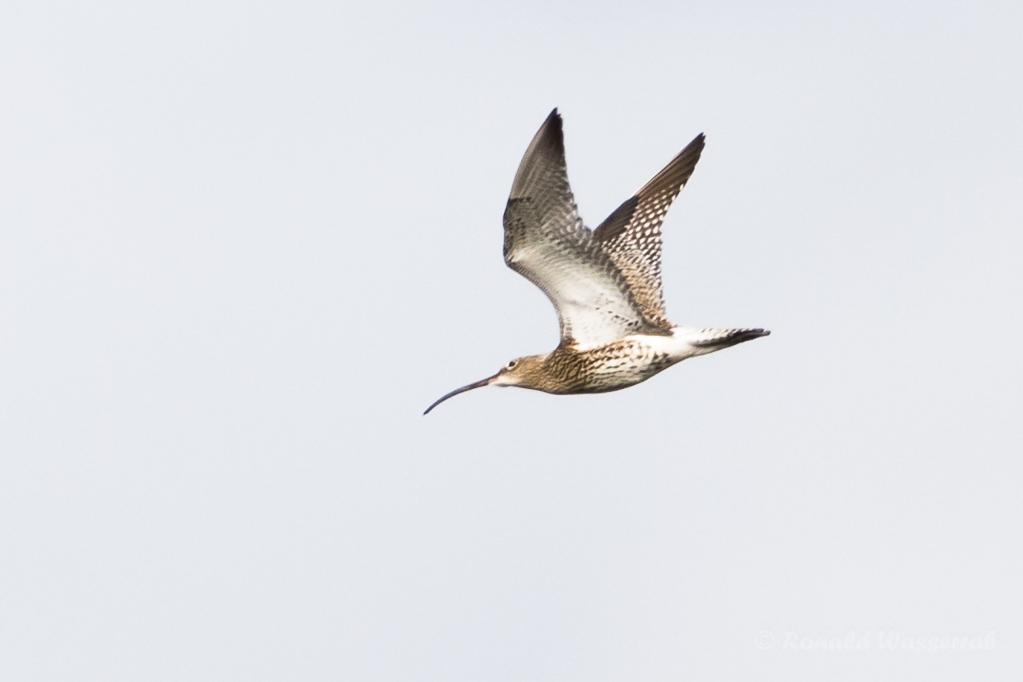 Fliegender Großer Brachvogel (Numenius arquata) im Ochsenmoor