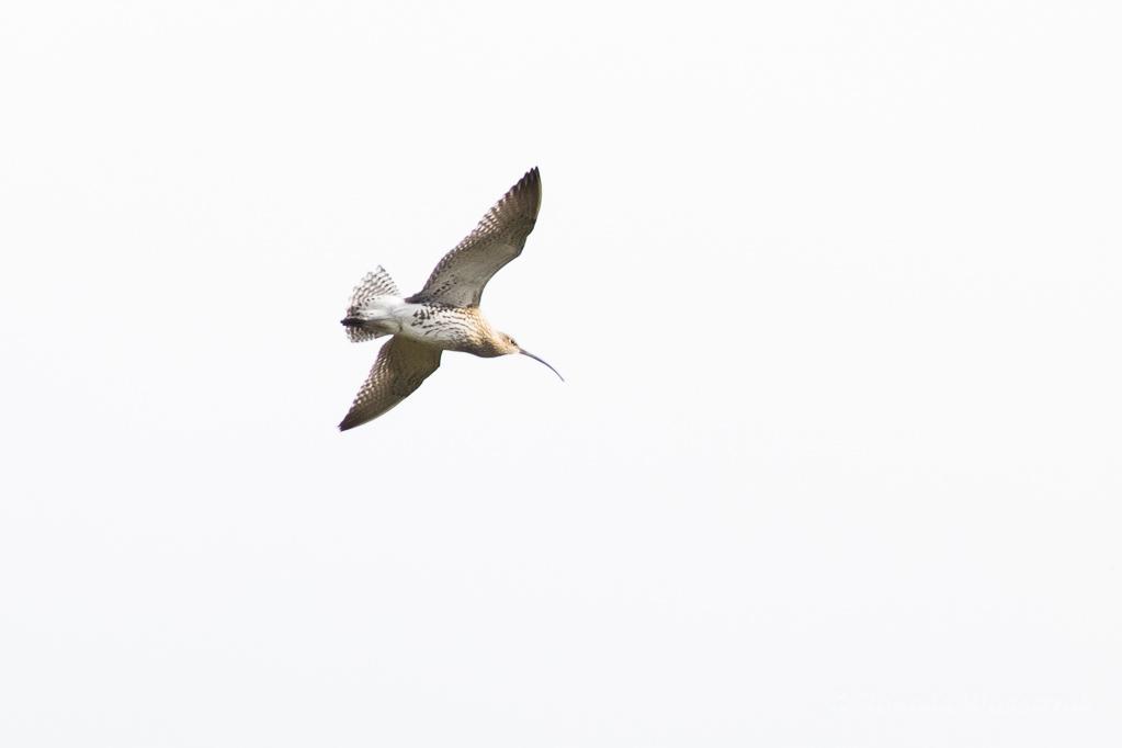 Grosser Brachvogel (Numenius arquata)