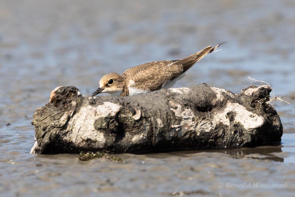 Junger Flussregenpfeifer (Charadrius dubius)