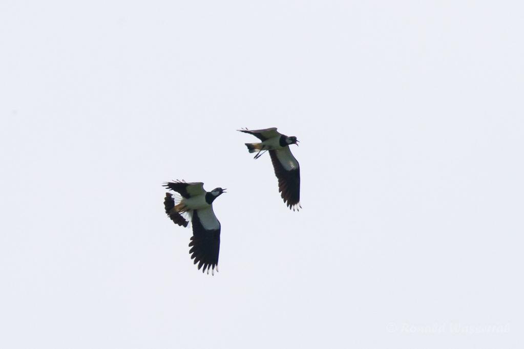 Kiebitze (Vanellus vanellus)