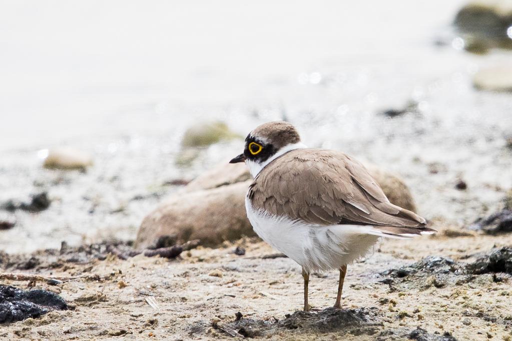 "Flussregenpfeifer (Charadrius dubius) im NSG ""Versunken Bokelt"""