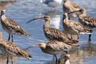 Große Brachvögel (Numenius arquata) im Rheindelta an der Fußacher Bucht