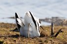 Säbelschnäbler (Recurvirostra avosetta) beim Graben einer Nestmulde