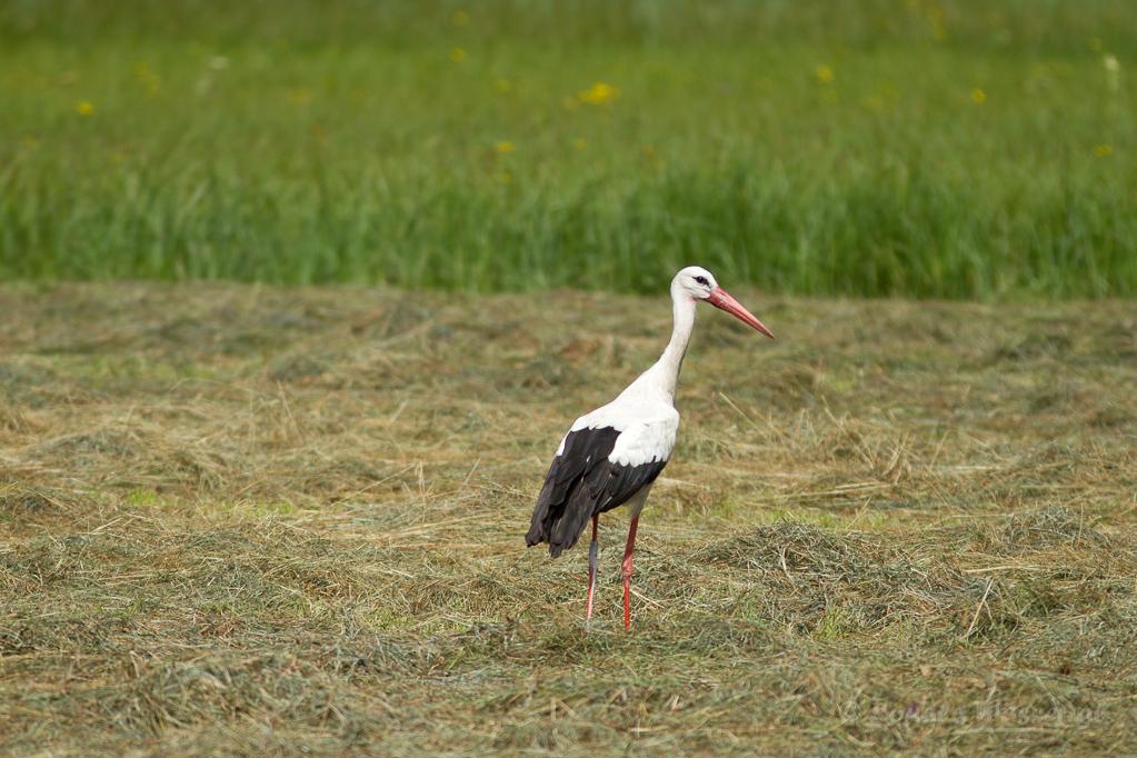 Weißstorch (Ciconia ciconia) bei Moos