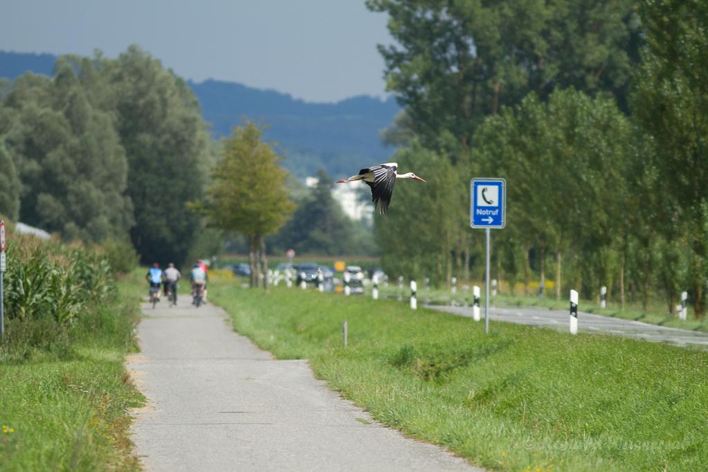 """Notruf-Storch"" - Weißstorch (Ciconia ciconia) bei Moos"