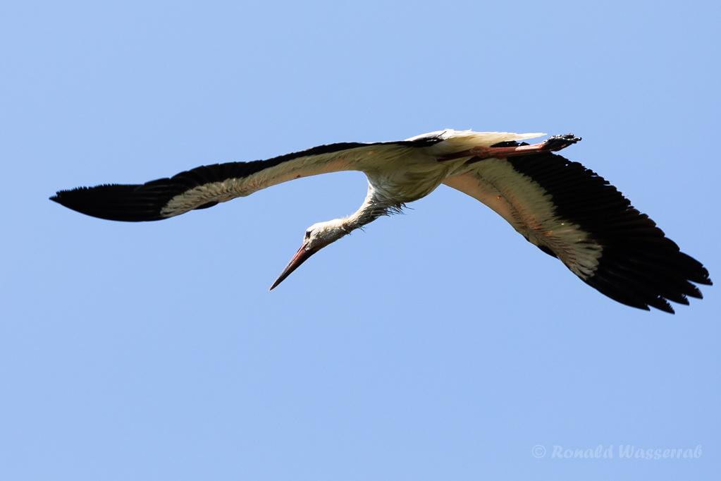 Weißstorch (Ciconia ciconia) über der Fußacher Bucht