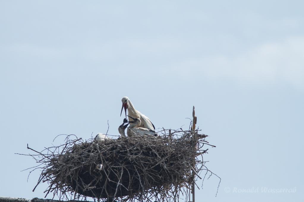 Weißstorch (Ciconia ciconia) - Der Würgeknollen