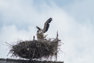 Weißstorch (Ciconia ciconia) - Flug-Trockenübung