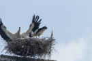 Weißstorch (Ciconia ciconia) - Ankunft und Begrüßung des Papas
