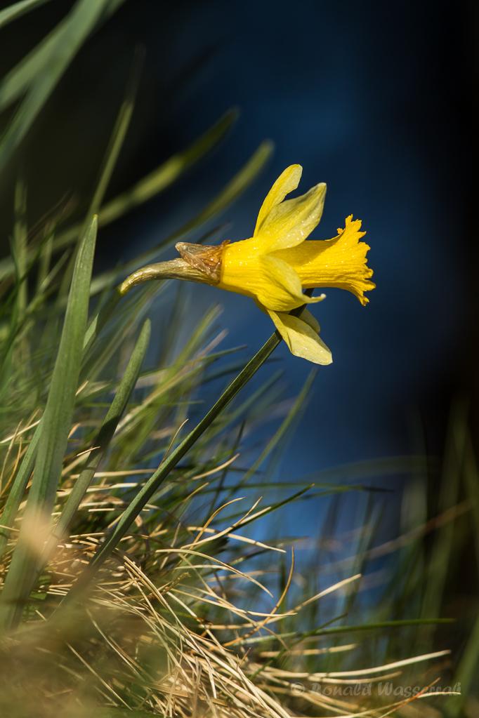 Narzisse (Narcissus pseudonarcissus)
