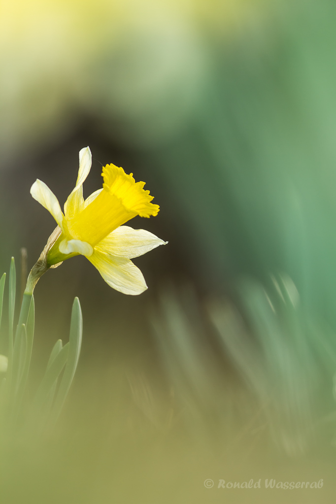 Wilde Narzisse (Narcissus pseudonarcissus)