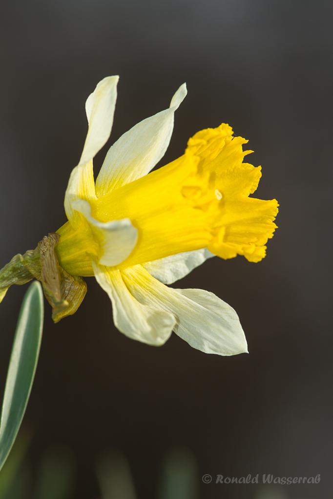 Wilde Narzisse (Narcissus pseudonarcissus)