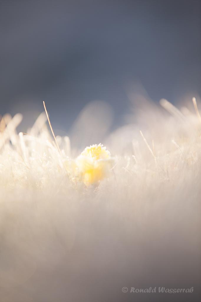 Wilde Narzisse (Narcissus pseudonarcissus) mit Reif