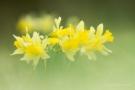 Narzissen (Narcissus pseudonarcissus)