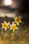 Wilde Narzissen (Narcissus pseudonarcissus)