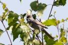 Sperbergrasmücke (Sylvia nisoria)