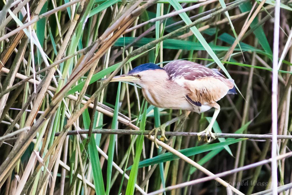 Zwergdommel-Weibchen (Ixobrychus minutus)