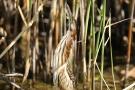 Junge Zwergdommel (Ixobrychus minutus)