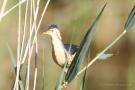 Zwerdommel-Männchen (Ixobrychus minutus)