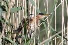 Zwergdommel-Männchen (Ixobrychus minutus)
