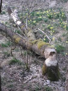 Biberspuren am Perlenbach