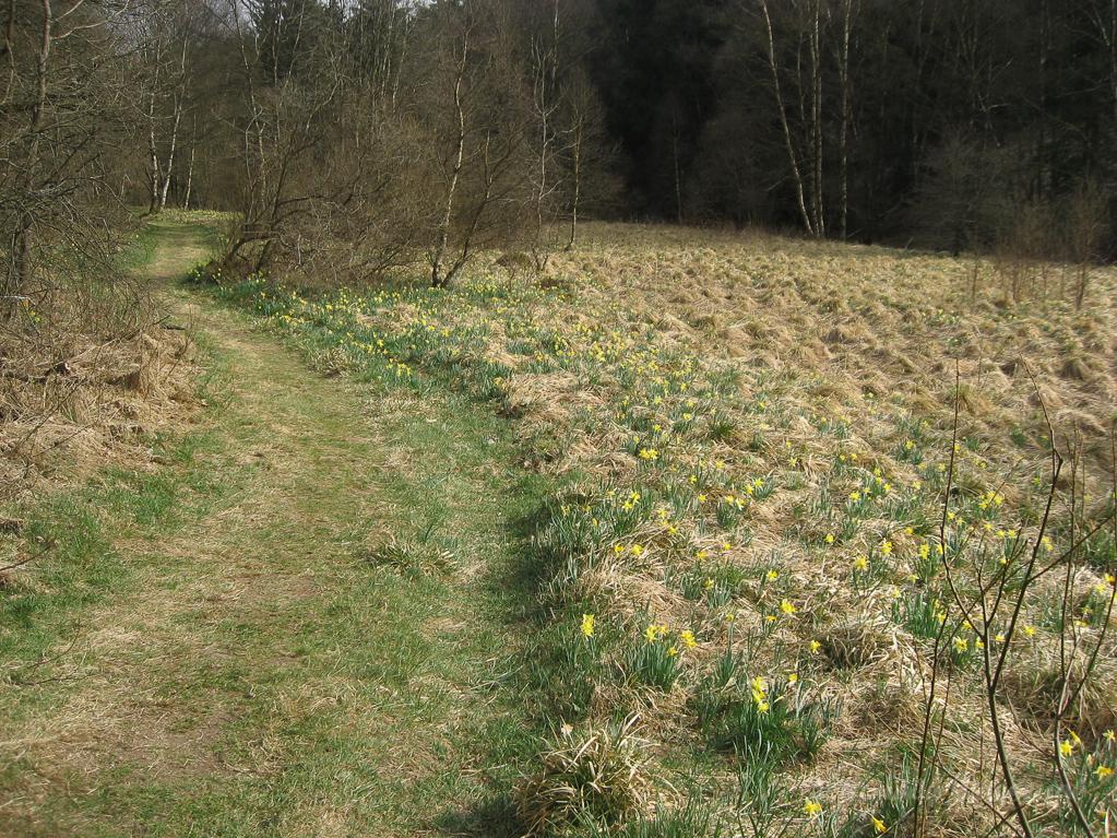 Narzissenwiese im Schwalmbachtal am Weg zur Bieley