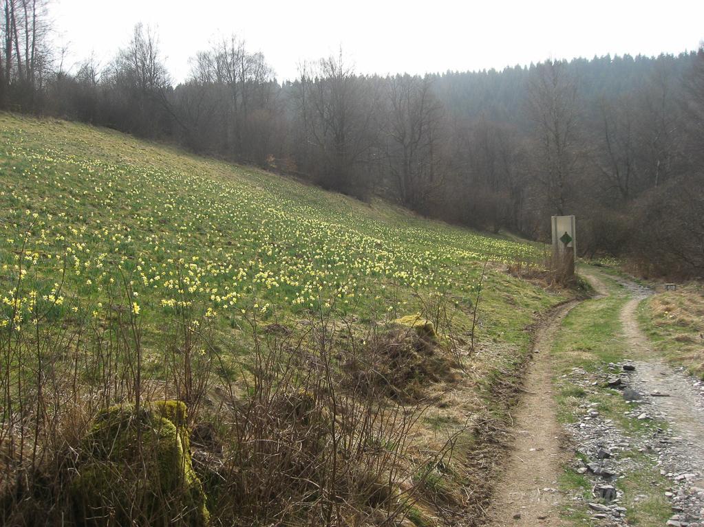 Narzissenwiese am Jägersief/Galgenberg