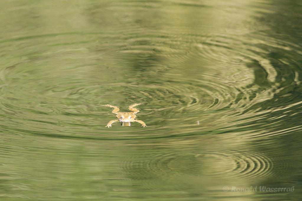 Frosch im Jägersief