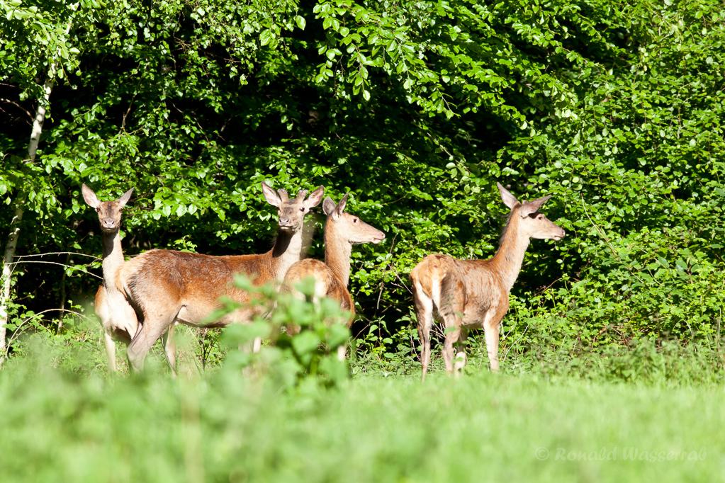 Hirsche im Diergardt'schen Forst bei Gey
