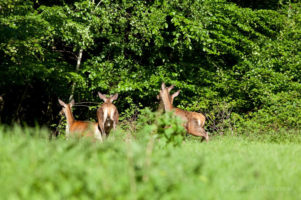 Hirsche im Forst Diergardt bei Gey