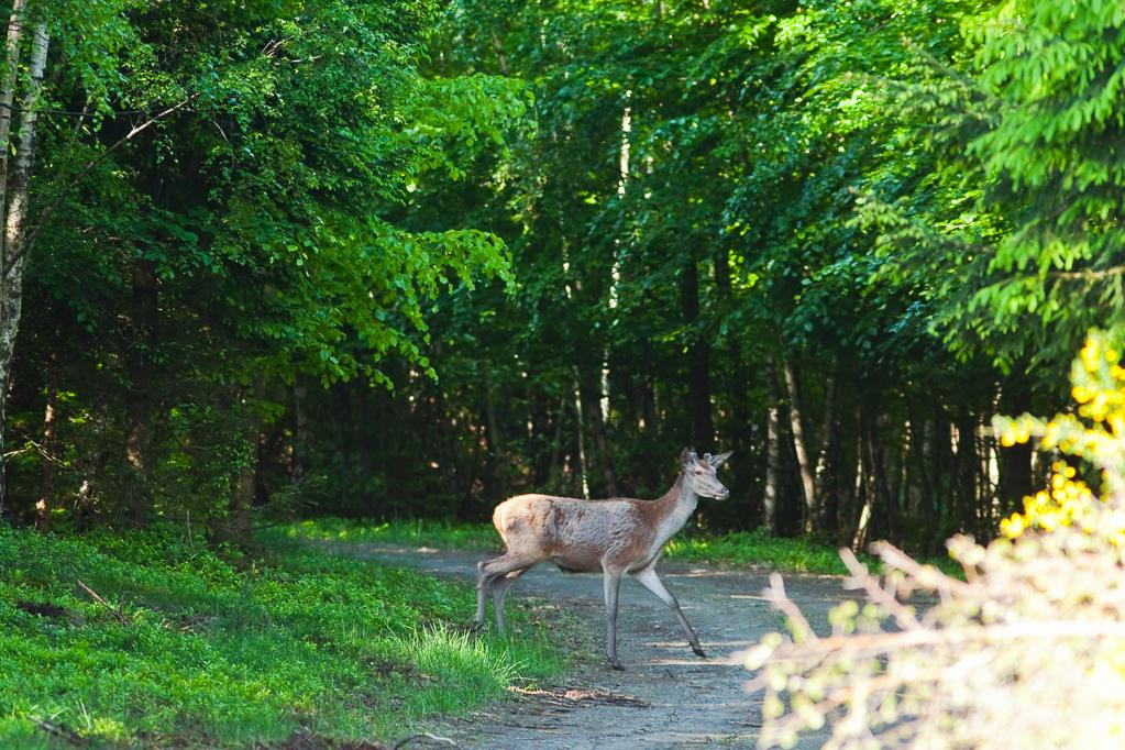 Der Hirsch kreuzt meinen Weg