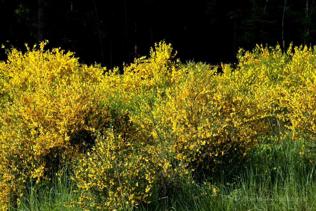 Ginsterblüte im Hürtgenwald bei Gey