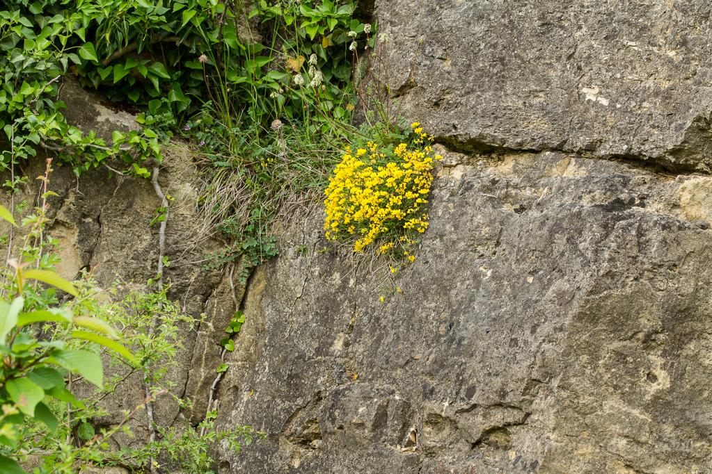 Hornklee an der Kalksteinbruchwand des Bürvenicher Bergs