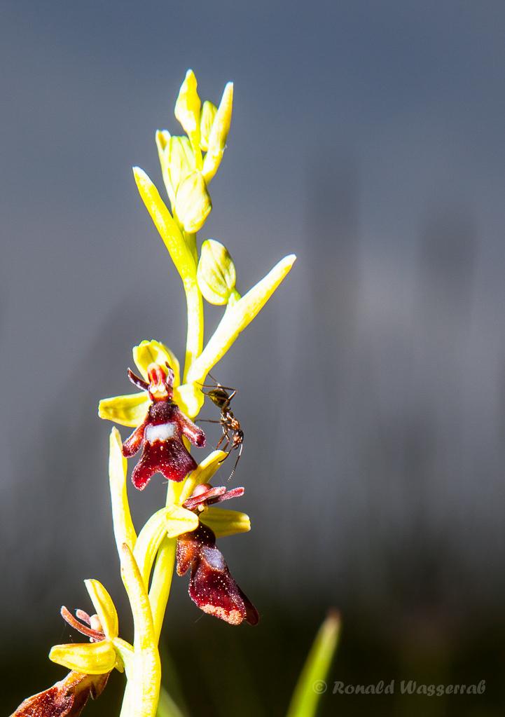 Ameise auf Fliegenragwurz am Bürvenicher Berg