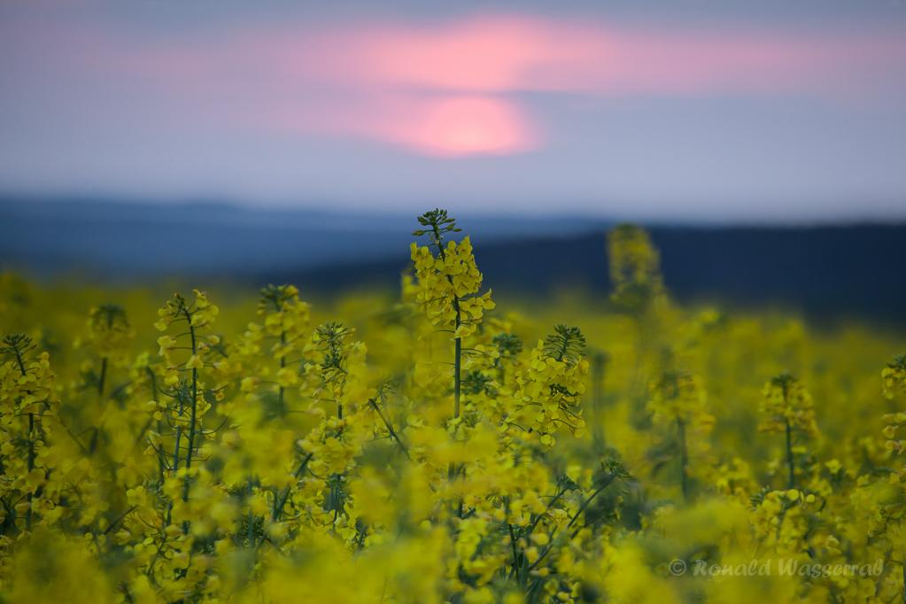 Rapsfeld bei Sonnenuntergang