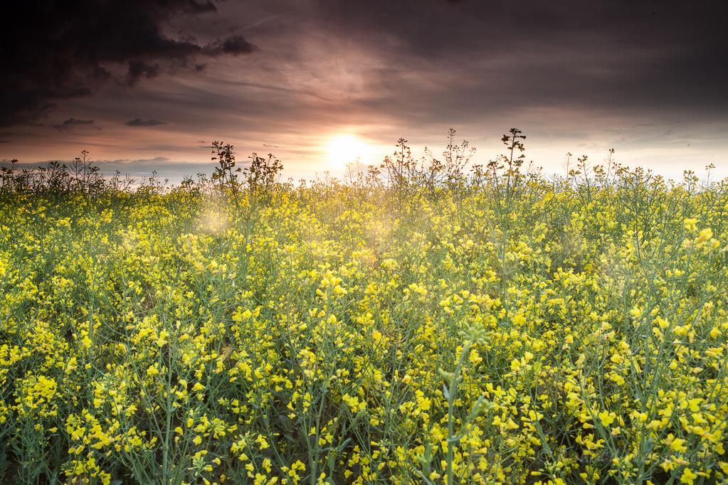 Rapsfeld bei Sonnenaufgang