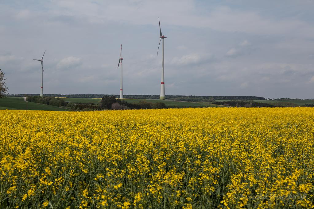 Rapsfeld mit Windrädern bei Scheuren