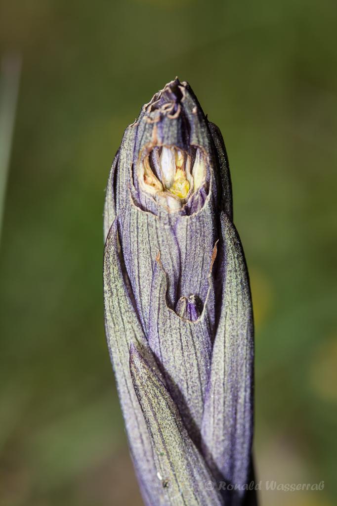 Violetter Dingel (Knospe)