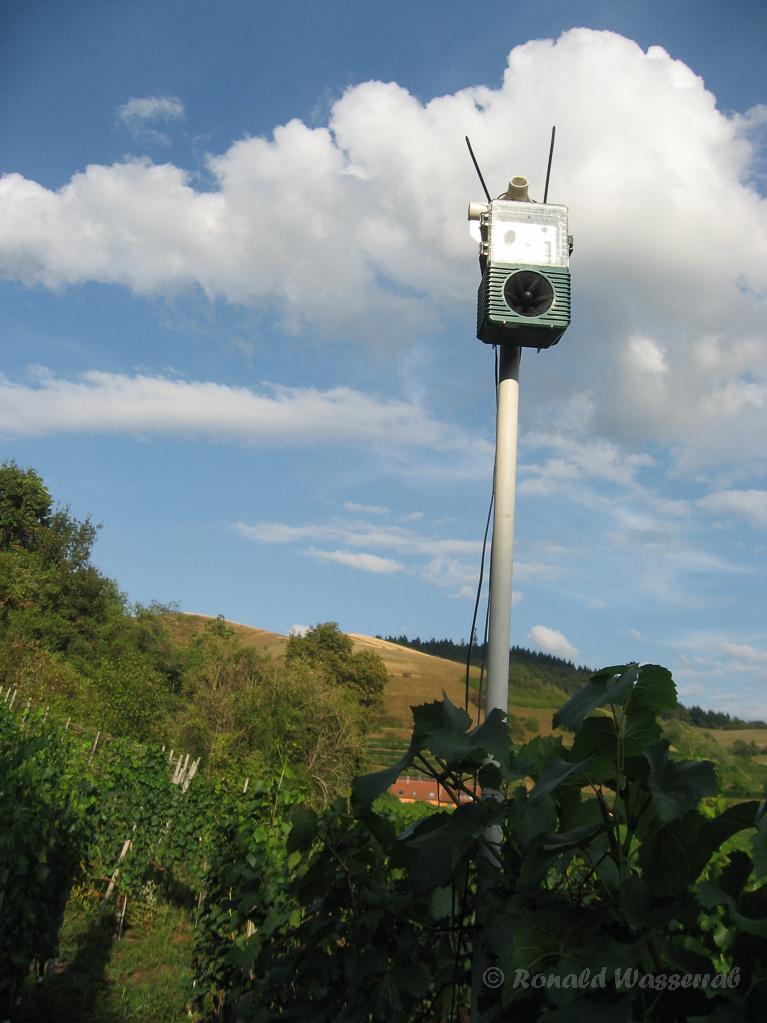 Komischer Vogel im Weinberg bei Alt-Vogtsburg