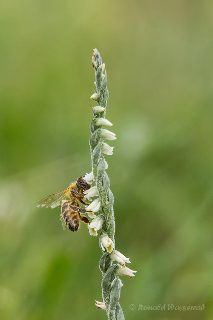 Biene auf einer Herbst-Drehwurz