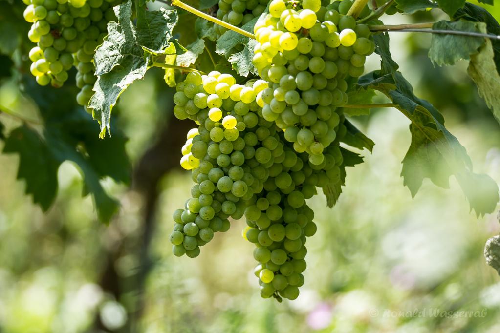 Weinreben bei Alt-Vogtsburg im Kaiserstuhl