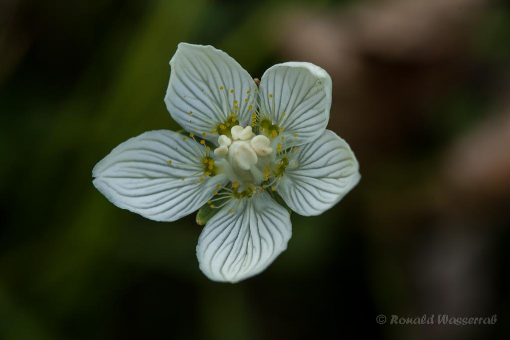 Sumpf-Herzblatt