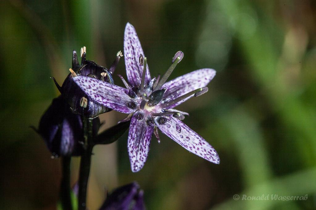 Blauer Sumpfstern (Swertia perennis)