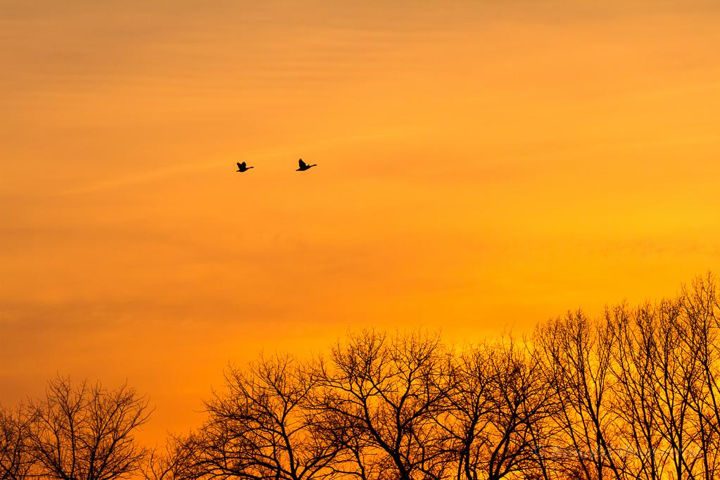 Fliegende Gänse im Abendlicht
