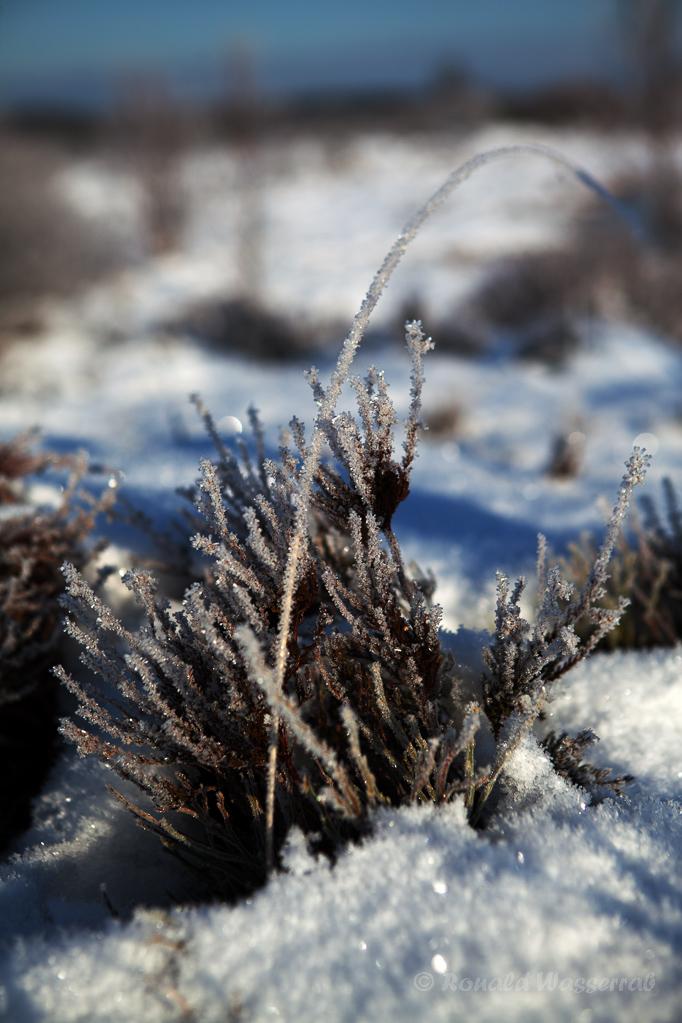 Eiskristalle auf dem Heidekraut