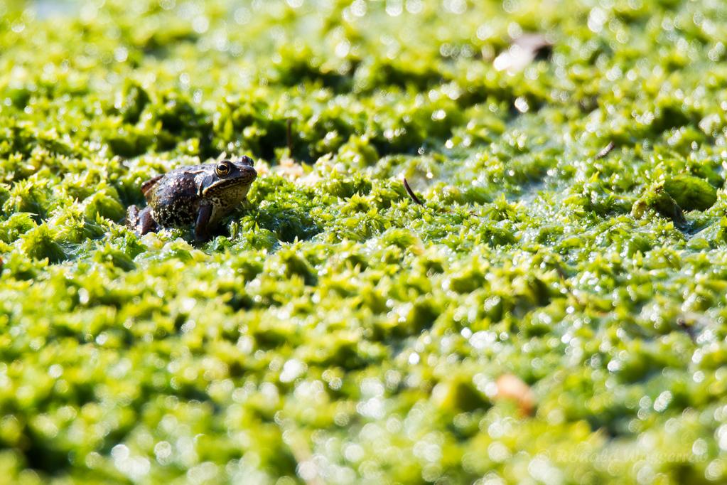 Da ist doch noch ein Frosch im Hochmoor